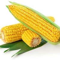 Maize(Corn)